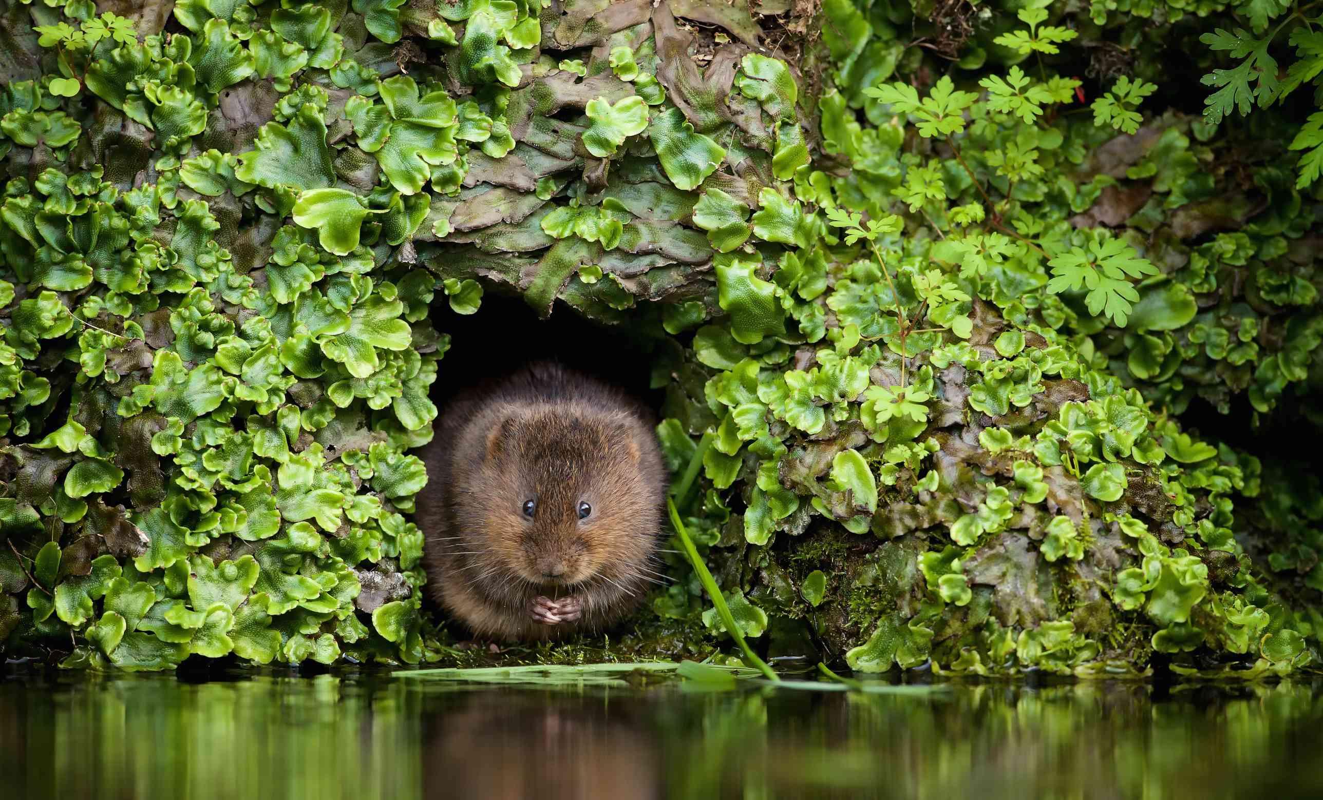 A vole in a hole near water.