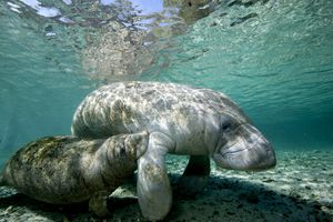 Florida manatee with her calf floating in shallow water