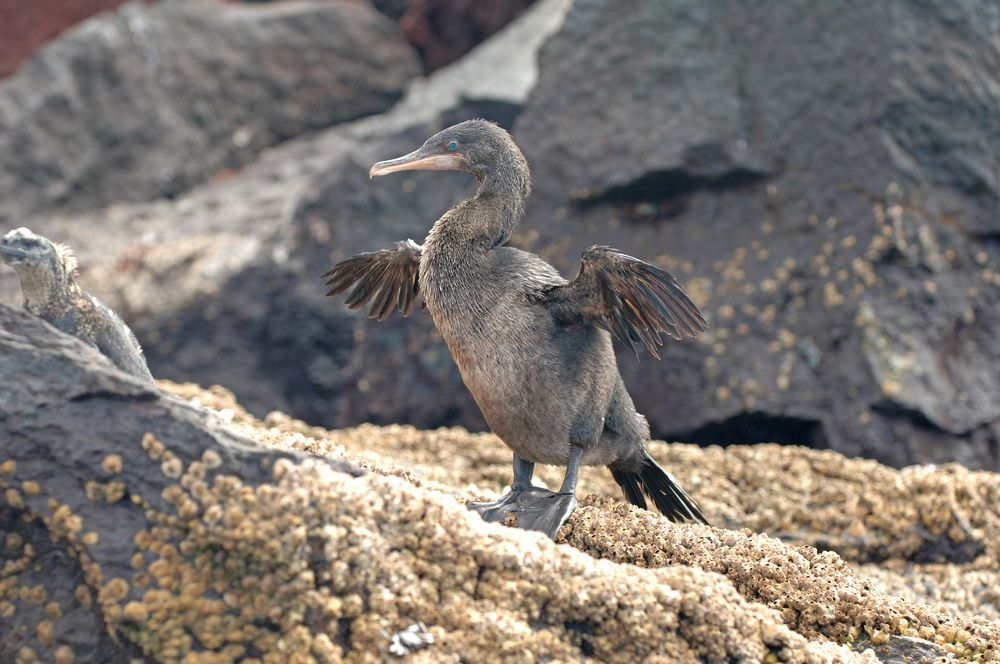 sea bird that looks somewhat like a duck with black and grey feathers but it has outstretched, short, stubby wings, and long hooked beak, a flightless cormorant of the Galapagos Islands.