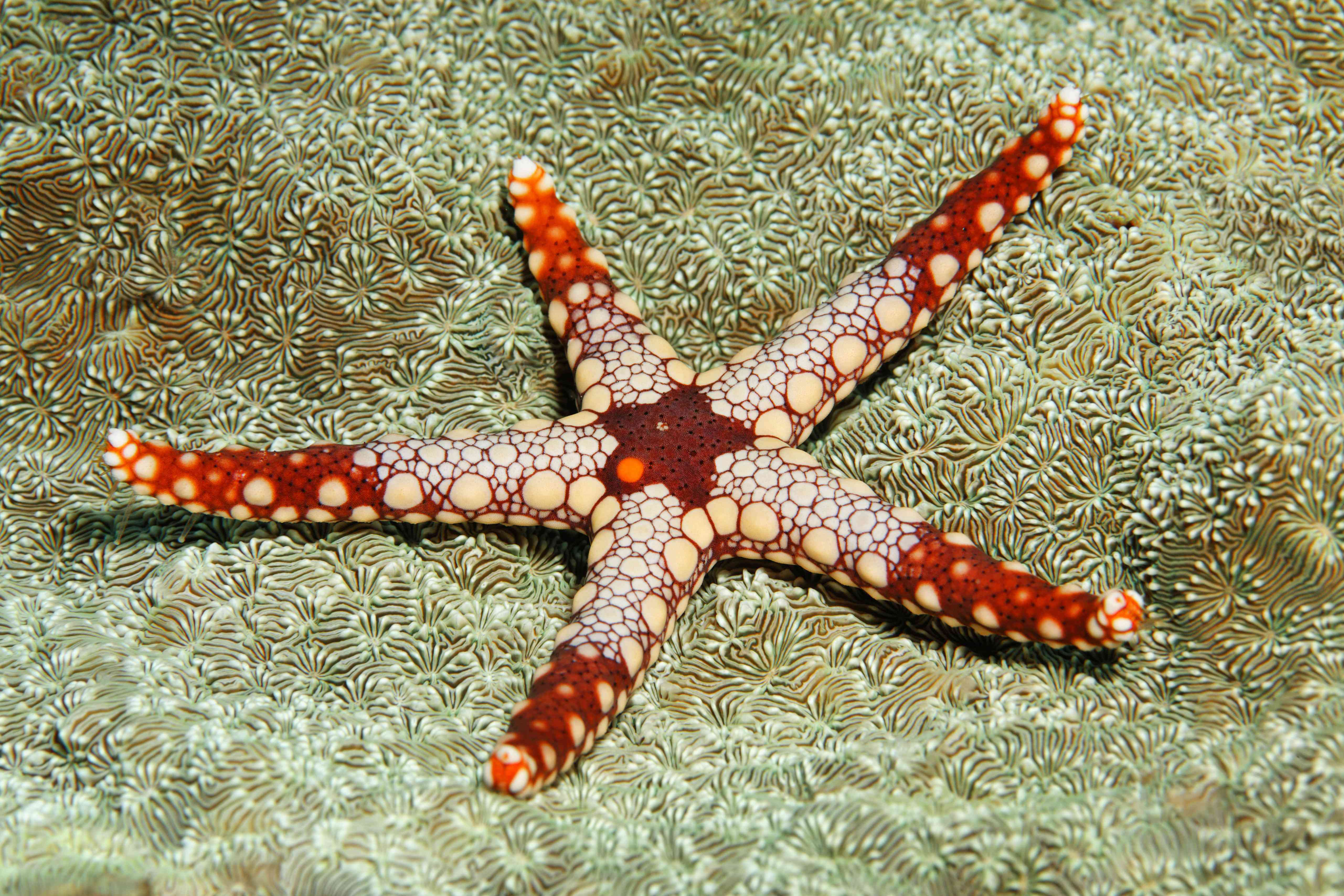 Necklace sea star with ornamental spots