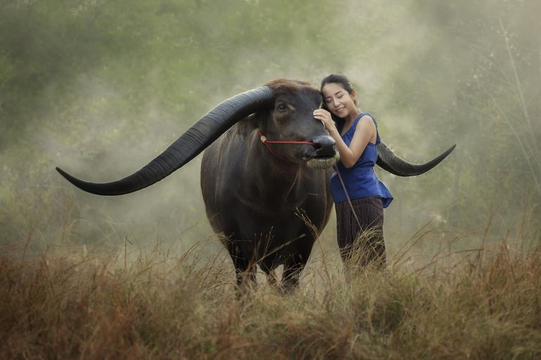 woman caring for bull