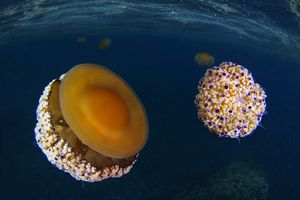 two fried egg jellyfishes