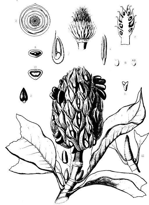 Southern Magnolia, Magnolia grandiflora