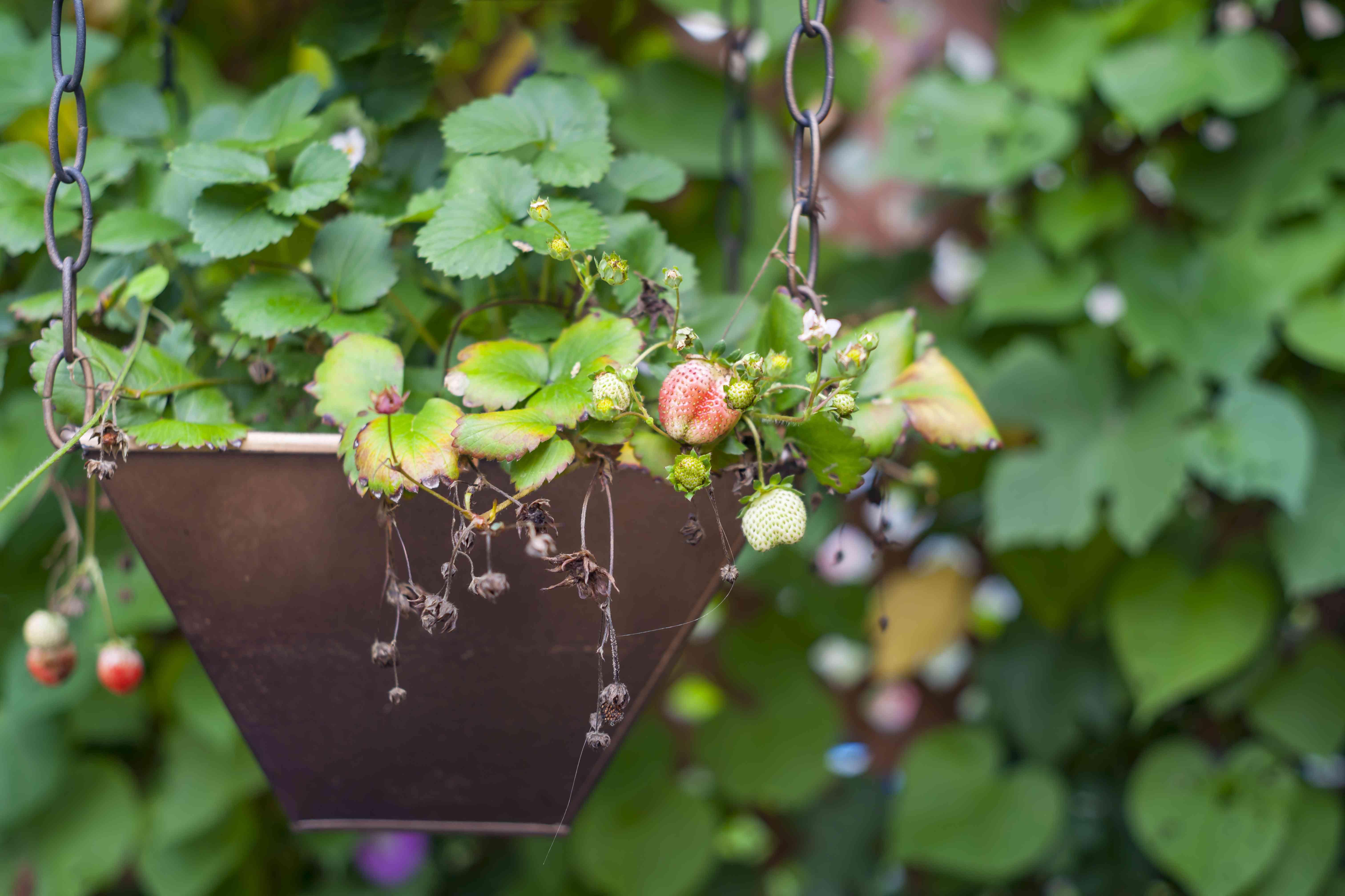 Growing strawberry in a backyard