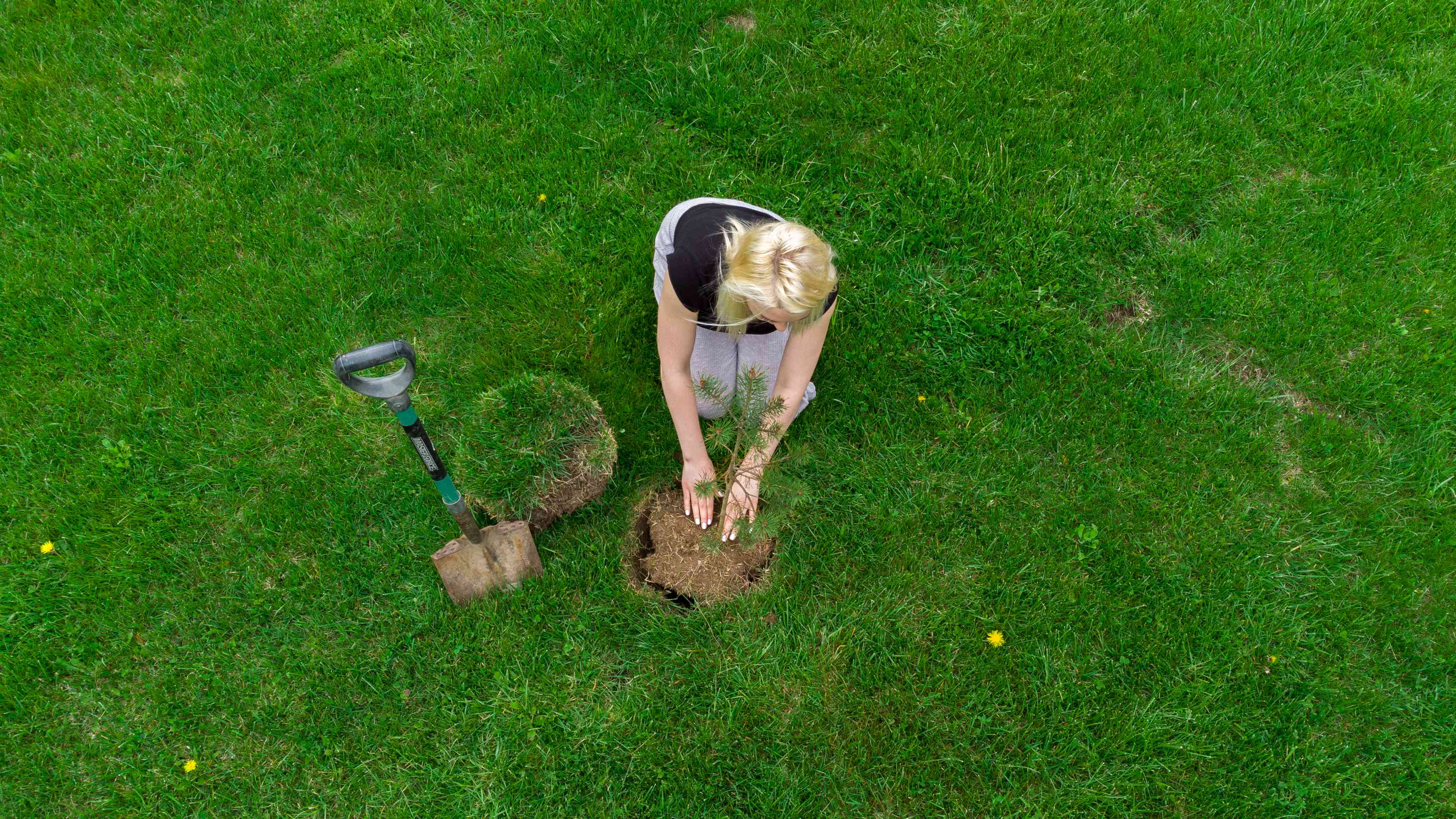overhead shot of blonde woman planting small tree seedling in middle of green lawn