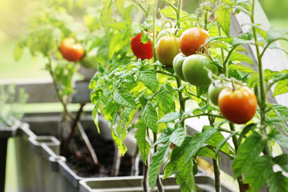 healthy tomatoes in container