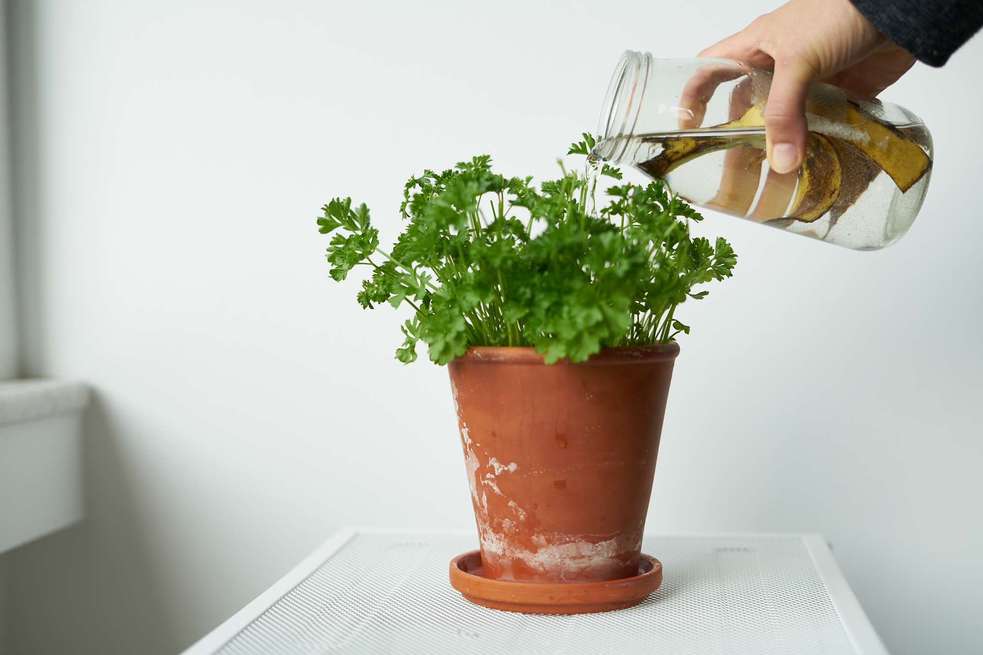 hand waters houseplant in terra cotta pot with a mason jar filled with old banana and water