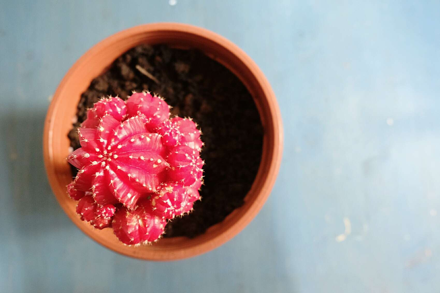 Directly Above Shot Of Potted Moon Cactus Plant