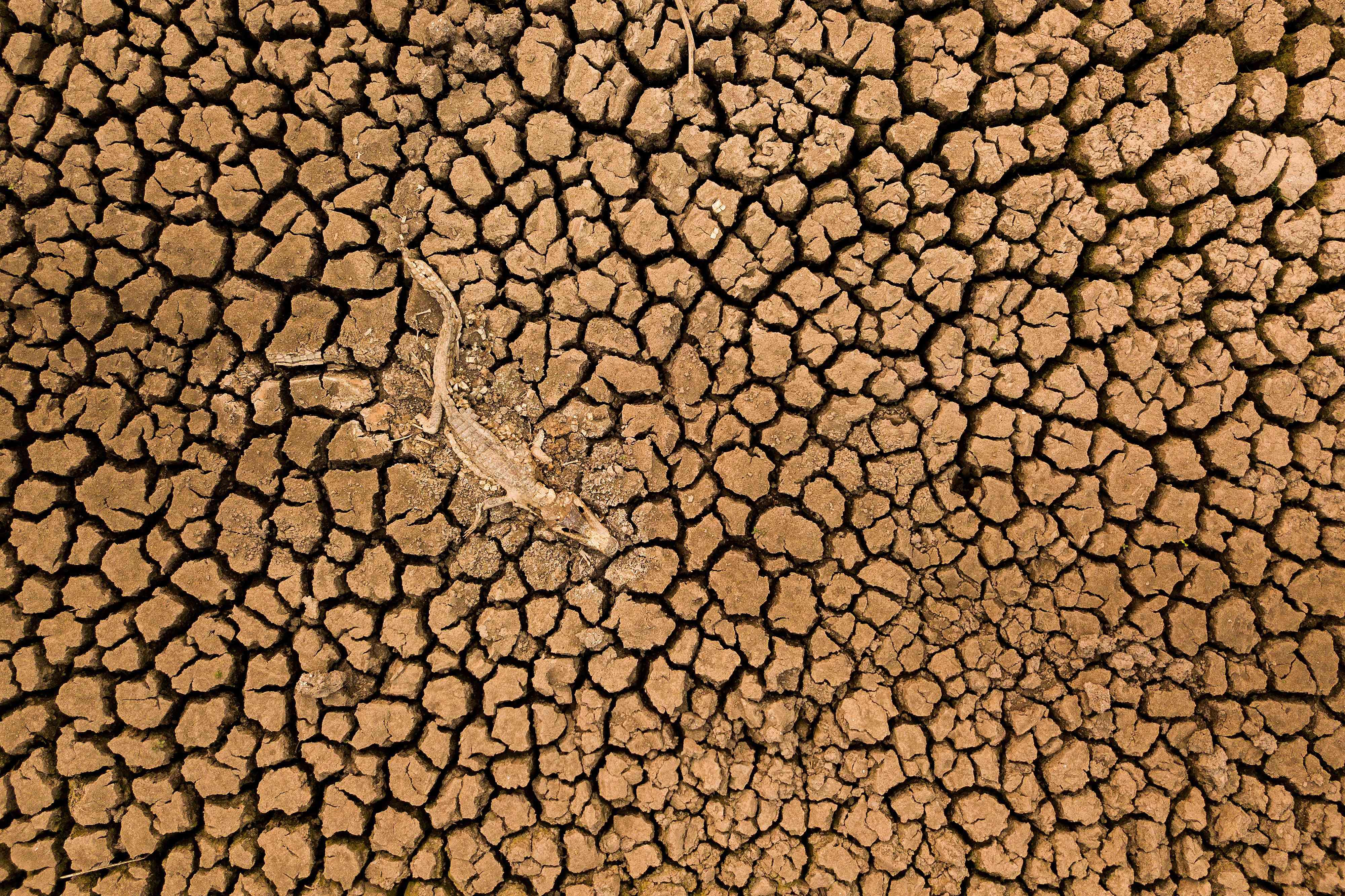 alligator carcass on dry soil