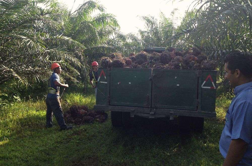 men loading palm fruit into truck