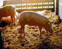 Pig Poo Power