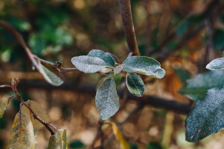 macro shot of powdery white mildew disease on green leaves on branch