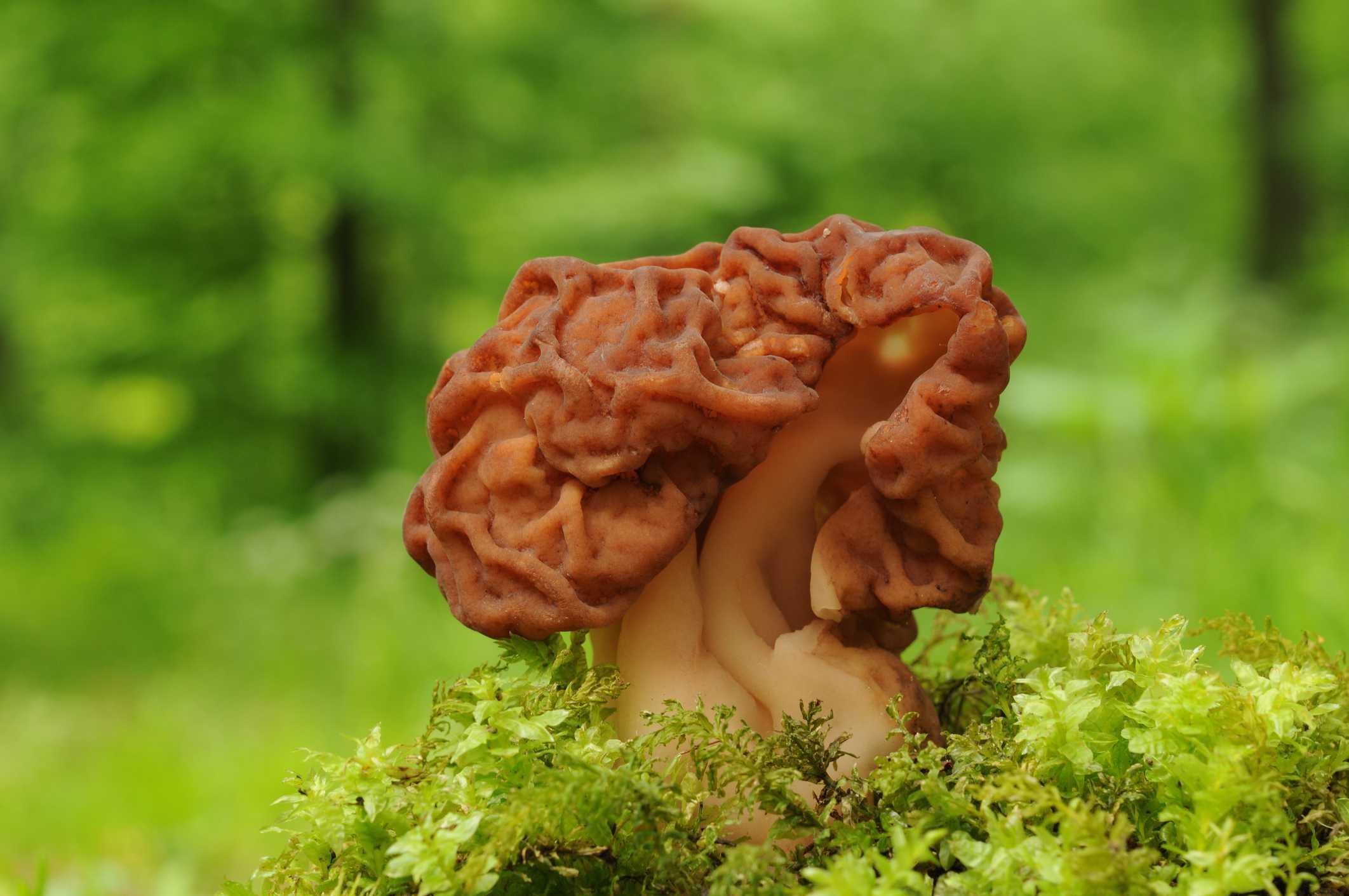 False Morel Mushroom growing in some moss