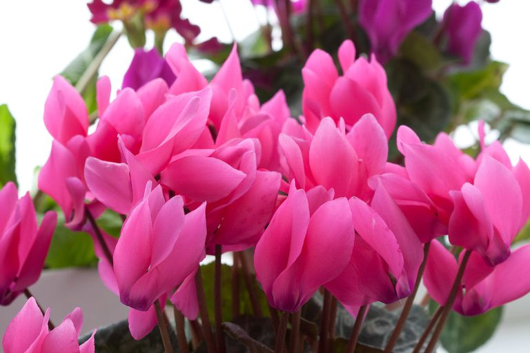 Rounded, heart-shaped, pink petals of cyclamen flowers in the sunlight