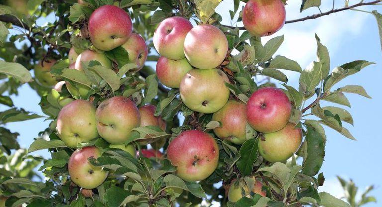 City Fruit cosechó casi 14 toneladas de fruta no utilizada de los árboles frutales urbanos de Seattle el año pasado