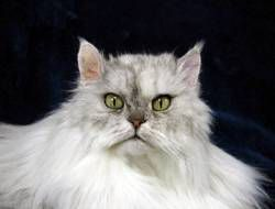 taxidermy white cat with green eyes