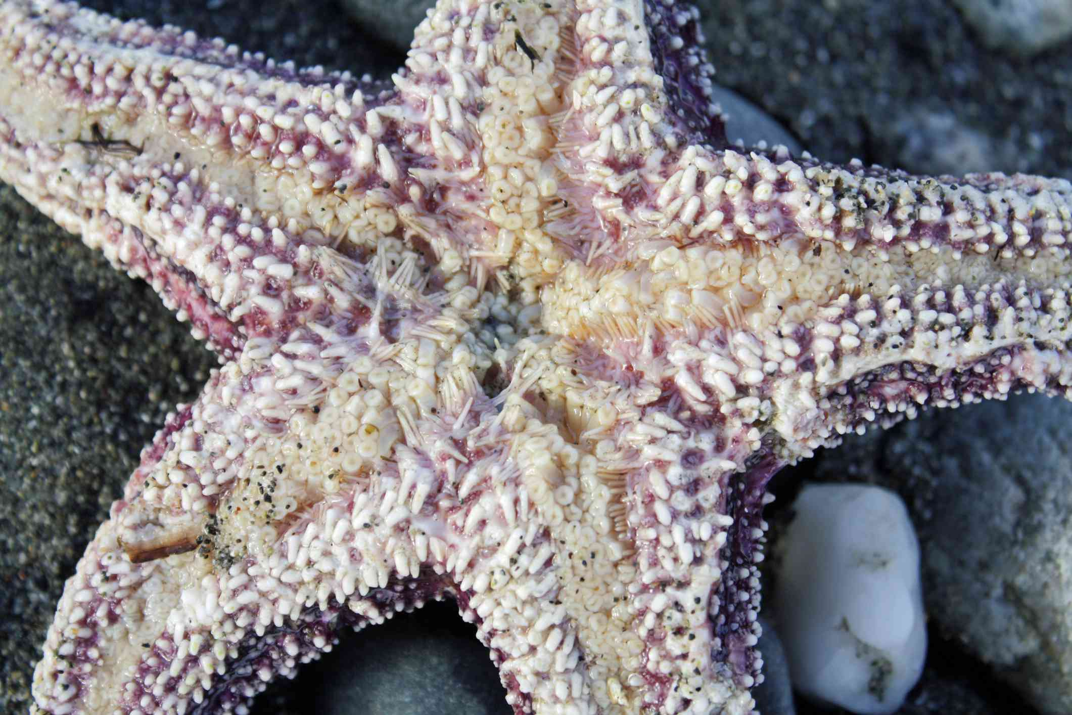 The underside of a sea star lying on rocks