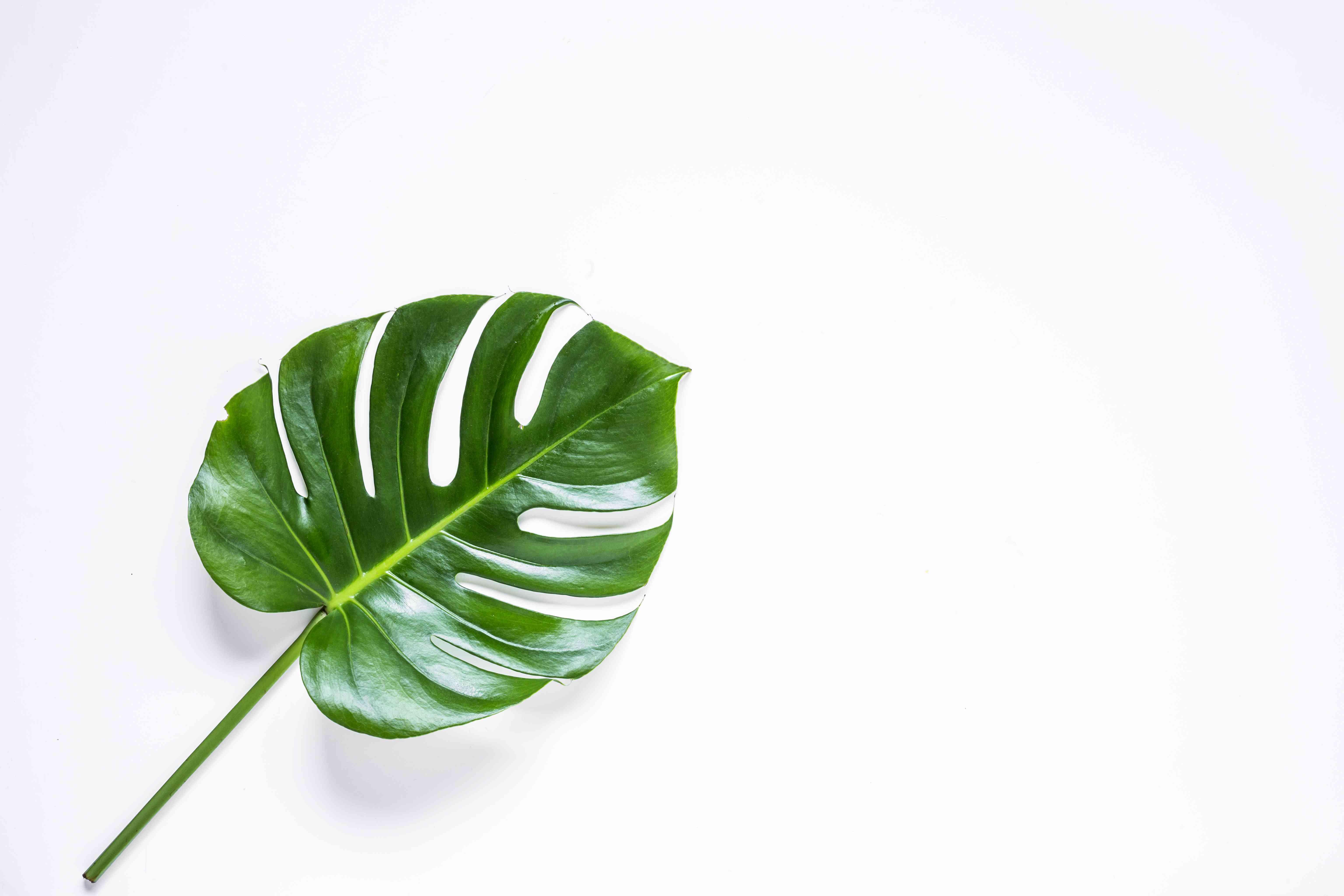 Close-up of tropical pine leaf.