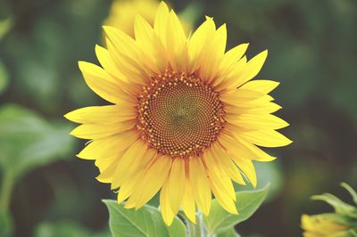 Close up of a blooming sunflower