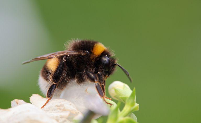 Los abejorros podrían desaparecer para siempre en unas pocas décadas