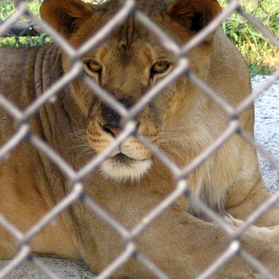 mountain lion behind a fence