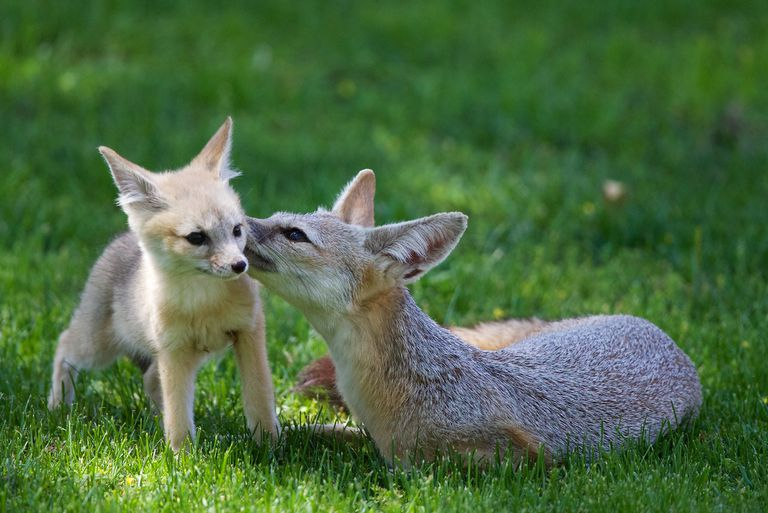 A kit fox and her baby in the grass