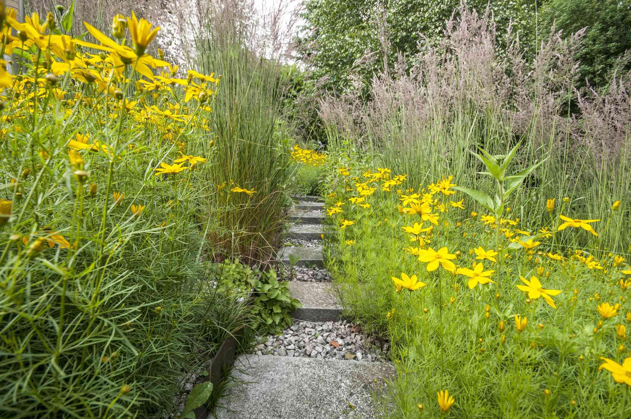 moonbeam coreopsis on a gardening path