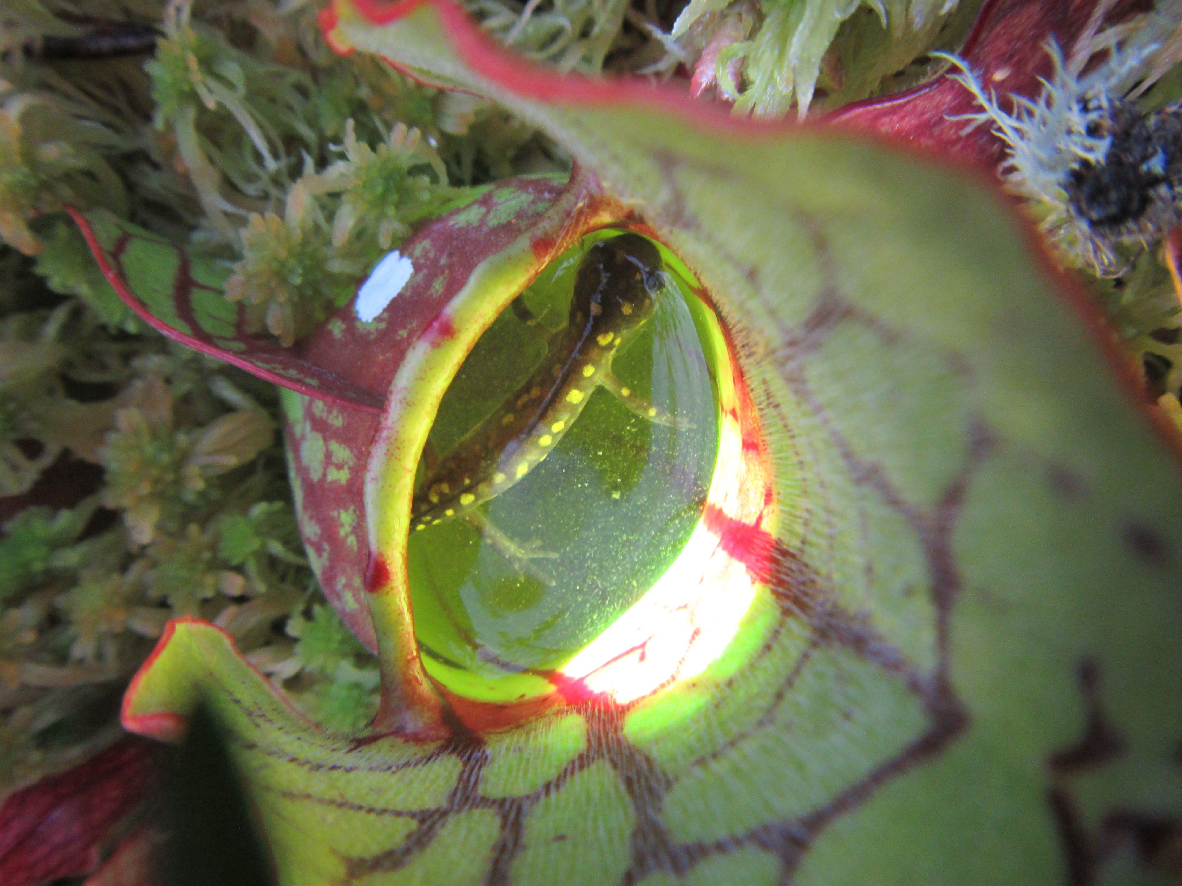 Plants Found Eating Salamanders in Canada