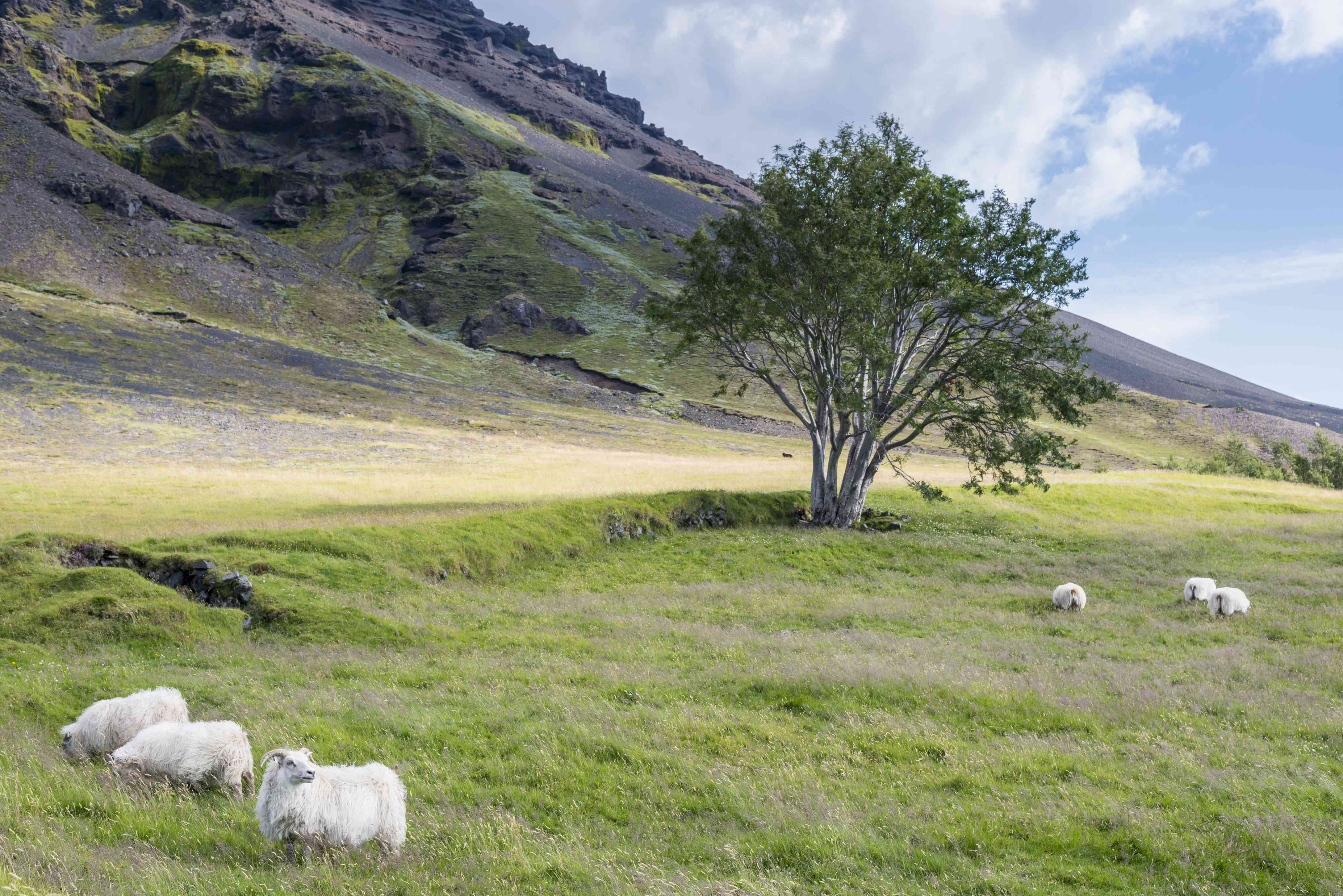 sheep grazing in southern Iceland