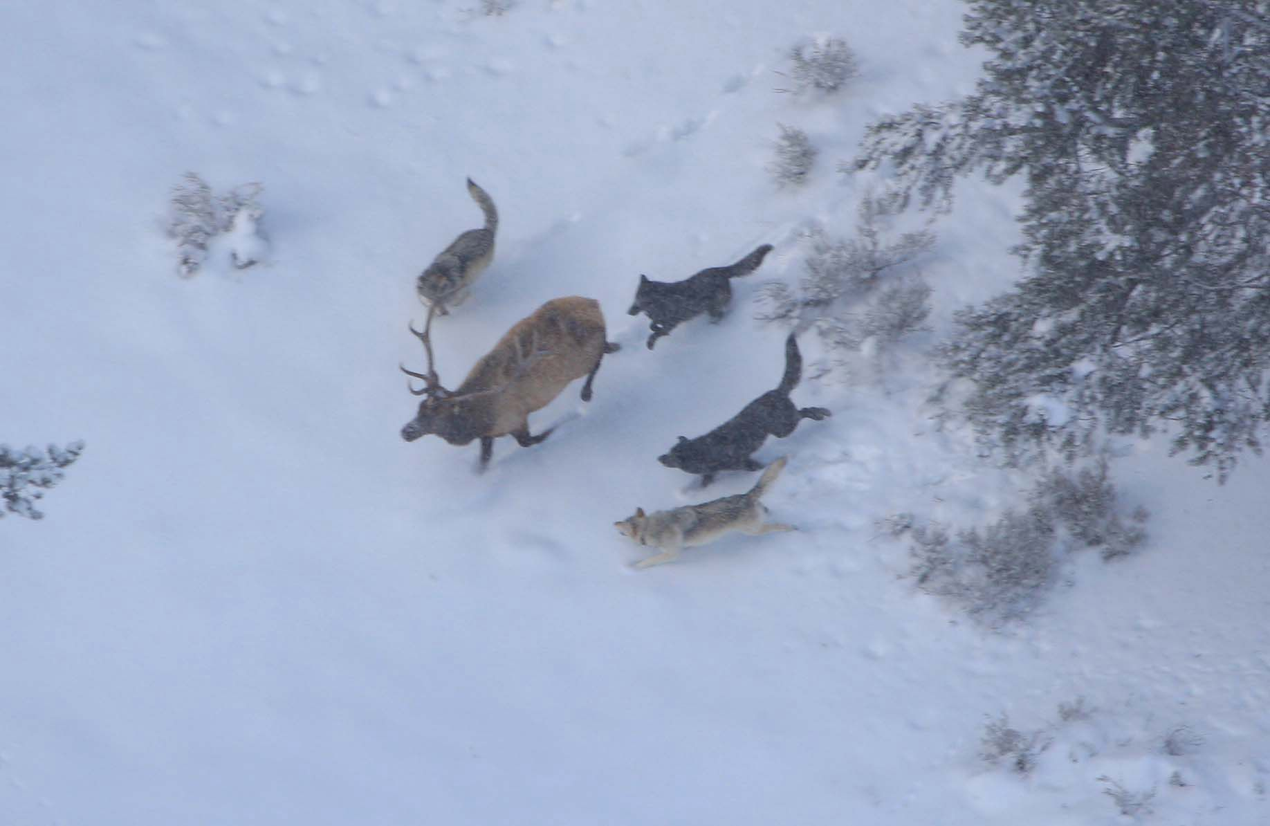 Wolves chase an elk in Yellowstone National Park