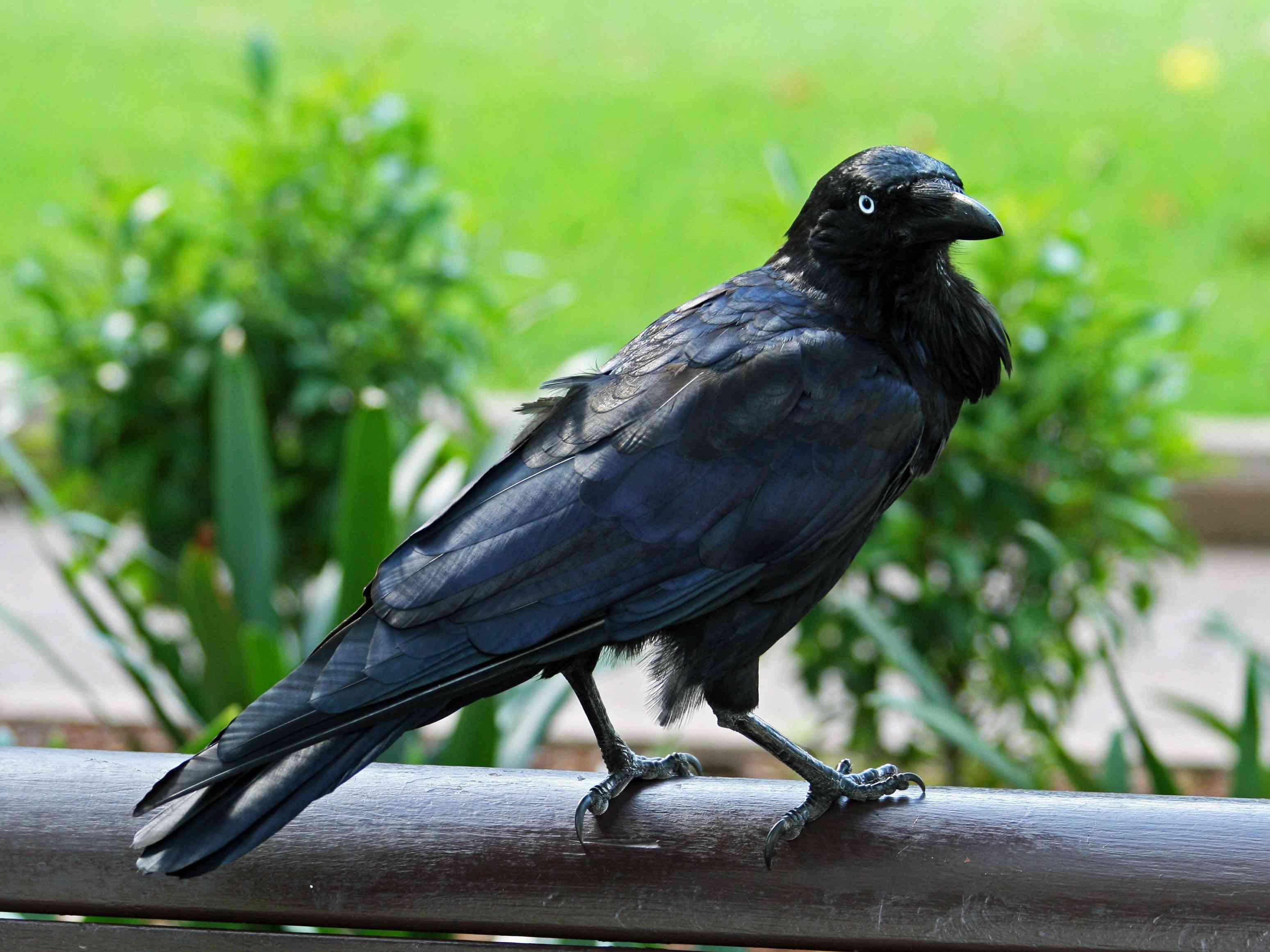 An Australian raven perched on a rail