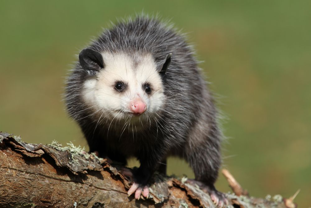 An opossum faces the camera while standing on a thick tree branch