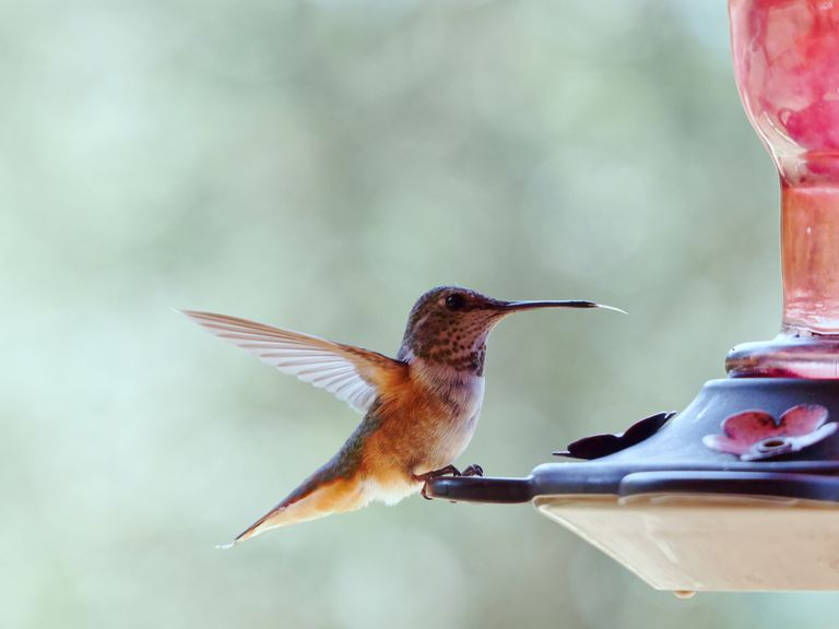 hummingbird perches on red feeder with blurred background