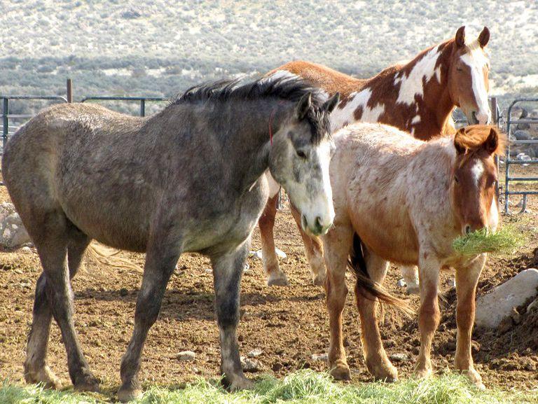 Por qué se están redondeando cientos de caballos salvajes en California