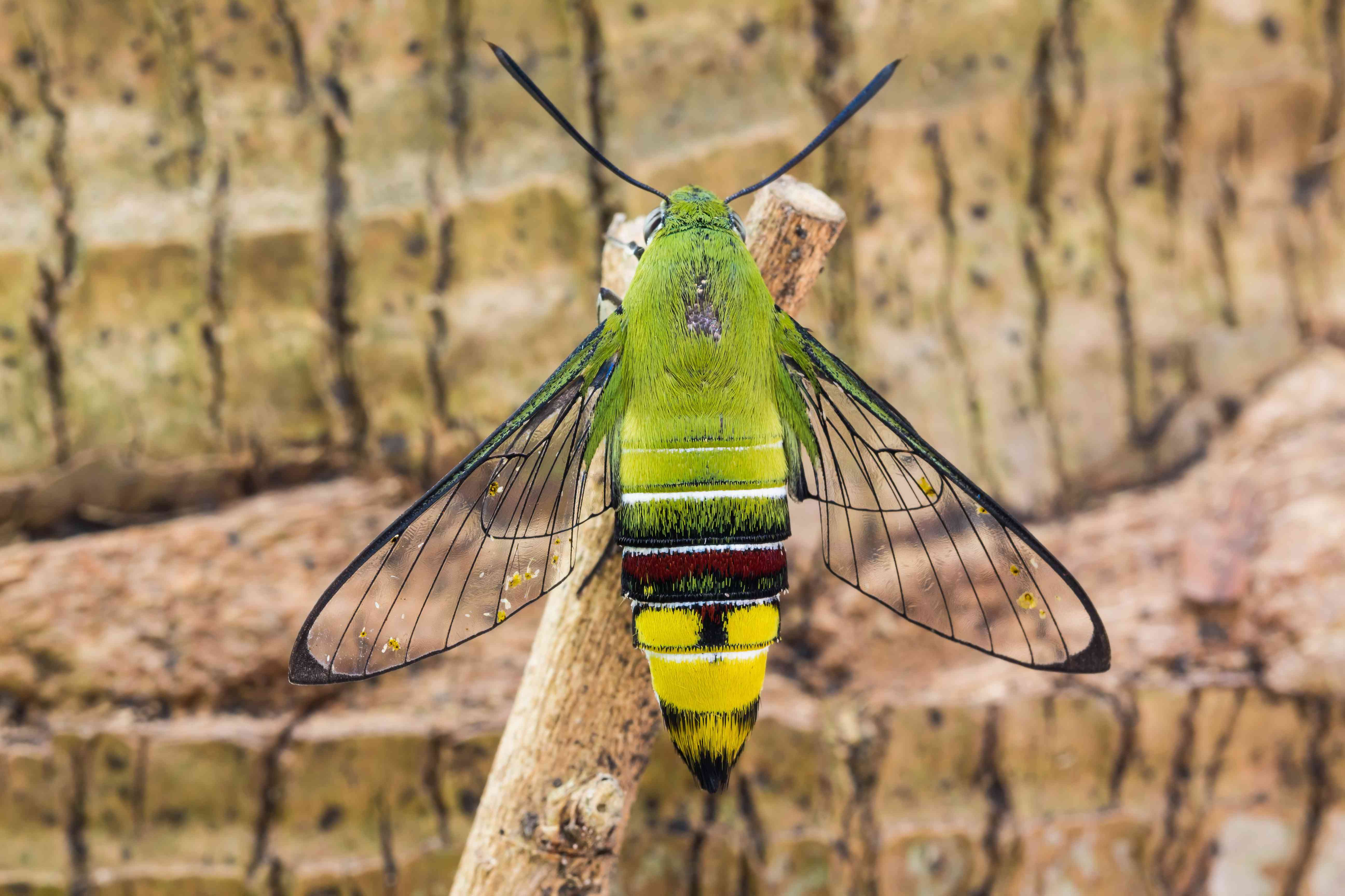 A green and yellow moth with transparent wings sits on a branch