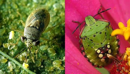 bigeyed bug vs chinch bug
