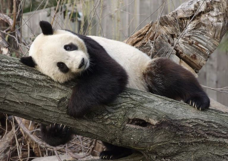 Una investigación rara revela la vida secreta de los pandas gigantes en la naturaleza