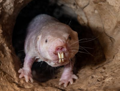 A naked mole rat crawls out of a cave.