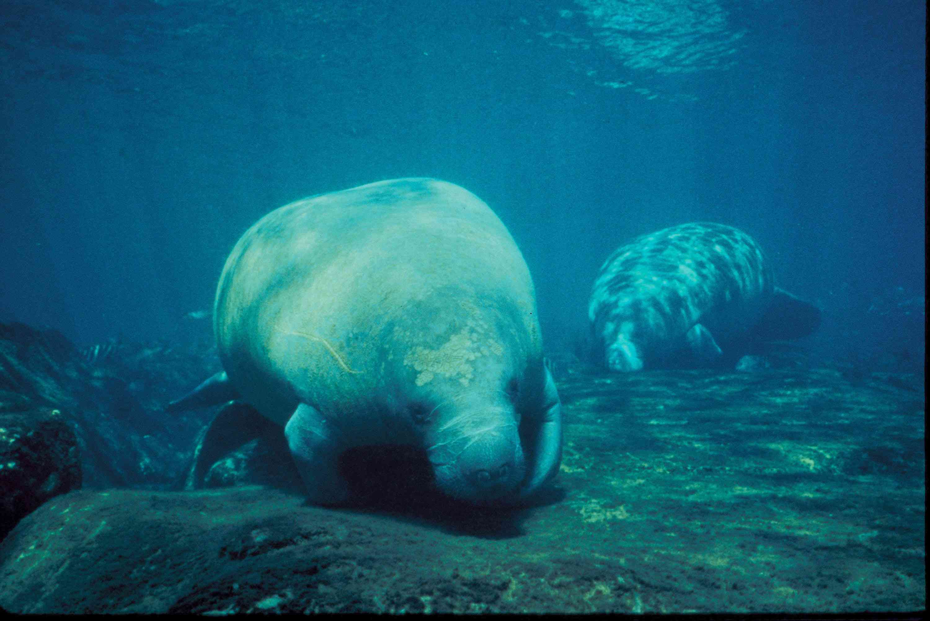 two manatees feeding in shallow water in Florida