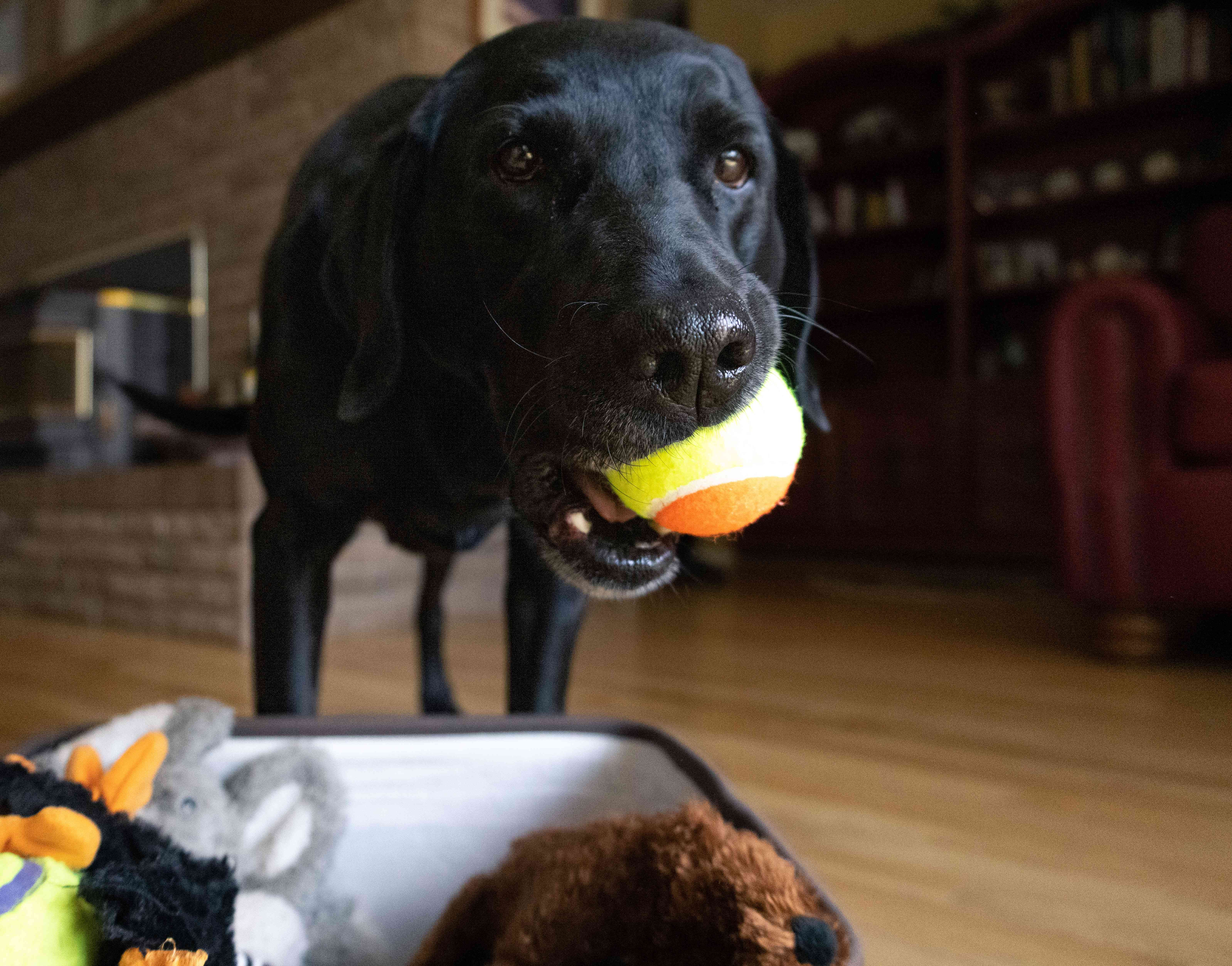 older black dog brings ball over in mouth to put away in toy chest
