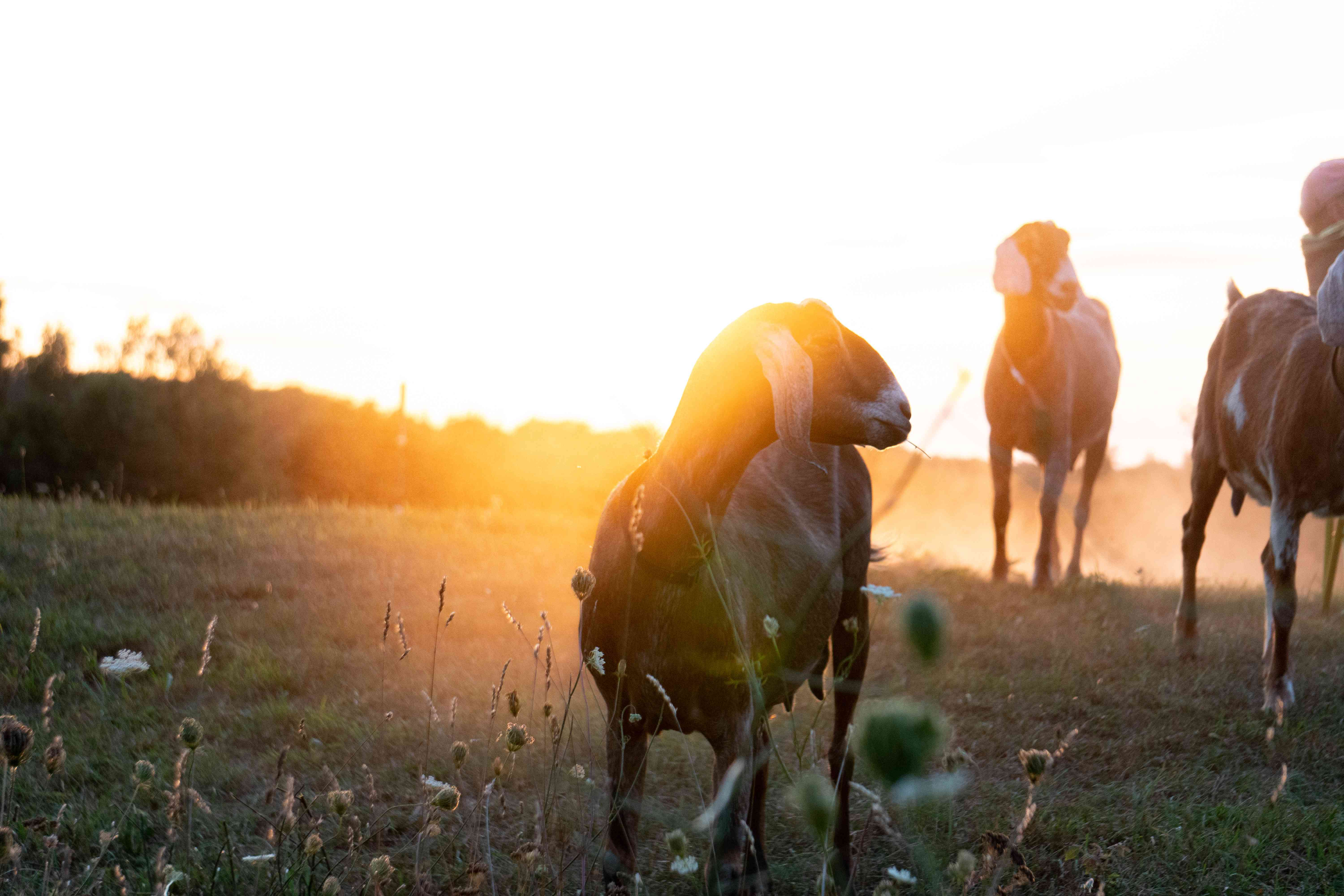 goats in an open pasture during sunset