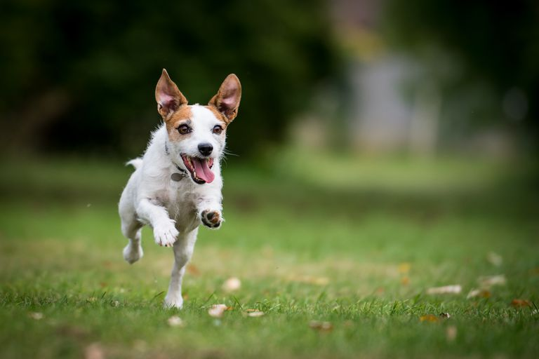 Jack Russell terrier running in a grassy field