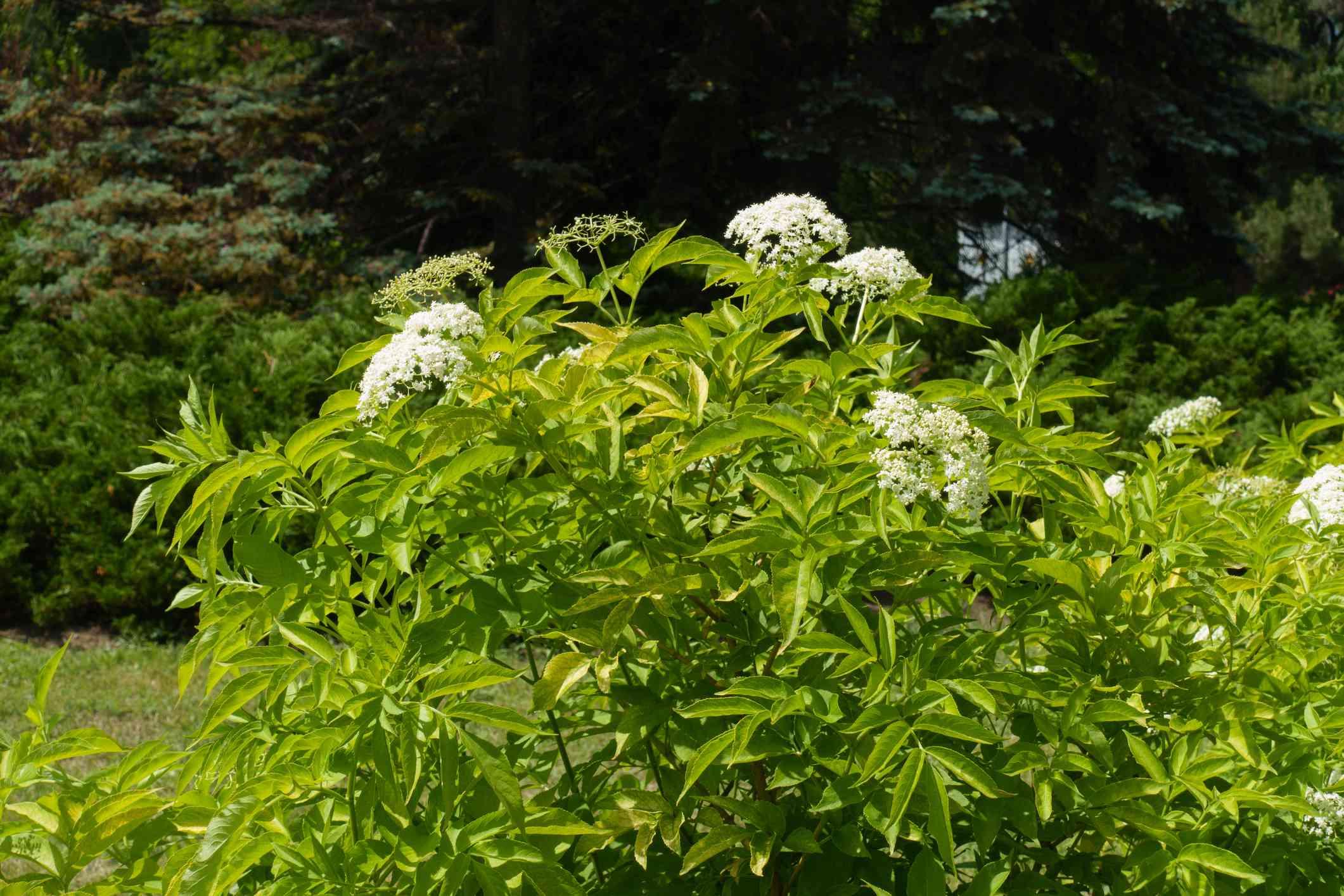 A bushy green elderberry bush with white flowers.