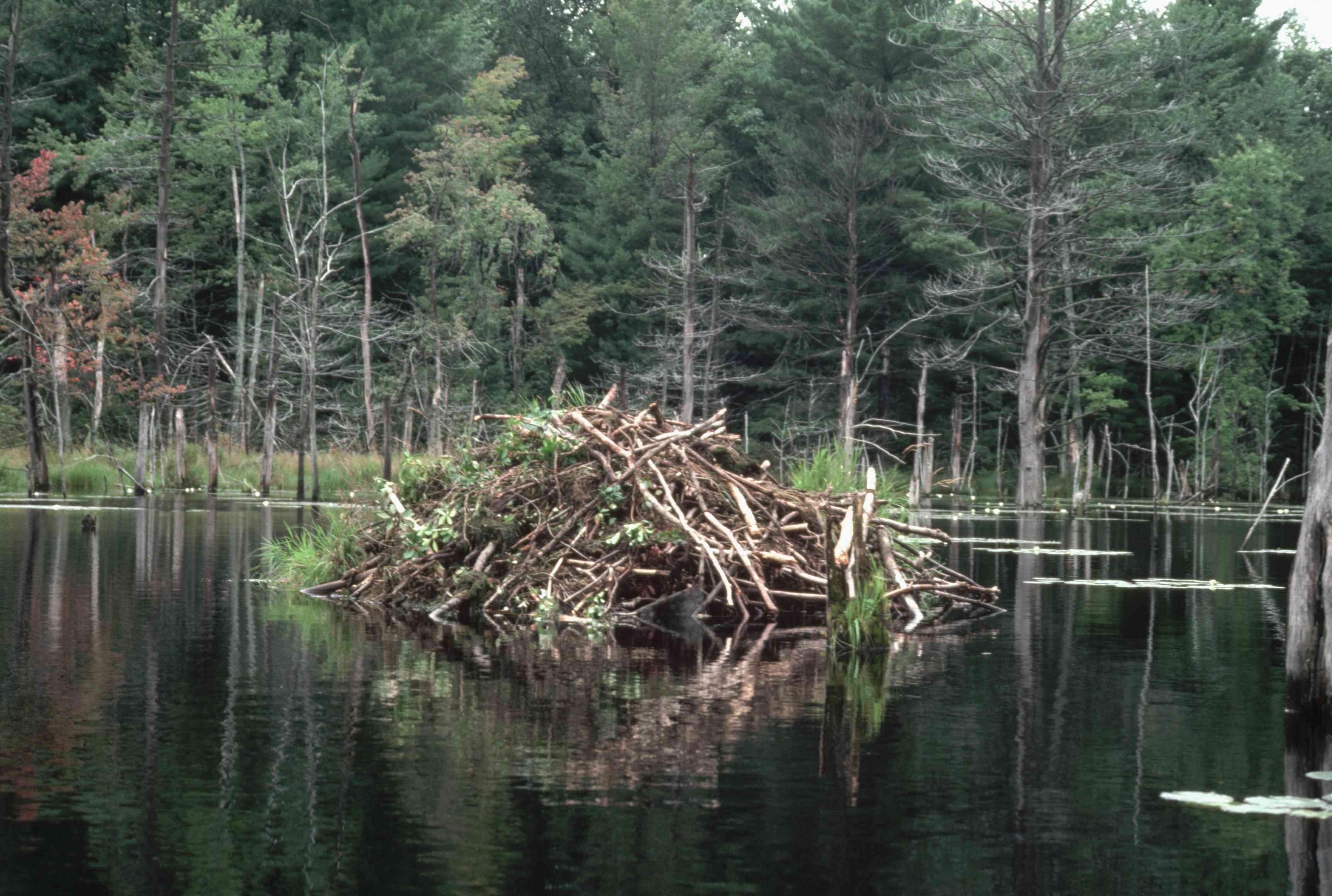 beaver lodge in lake