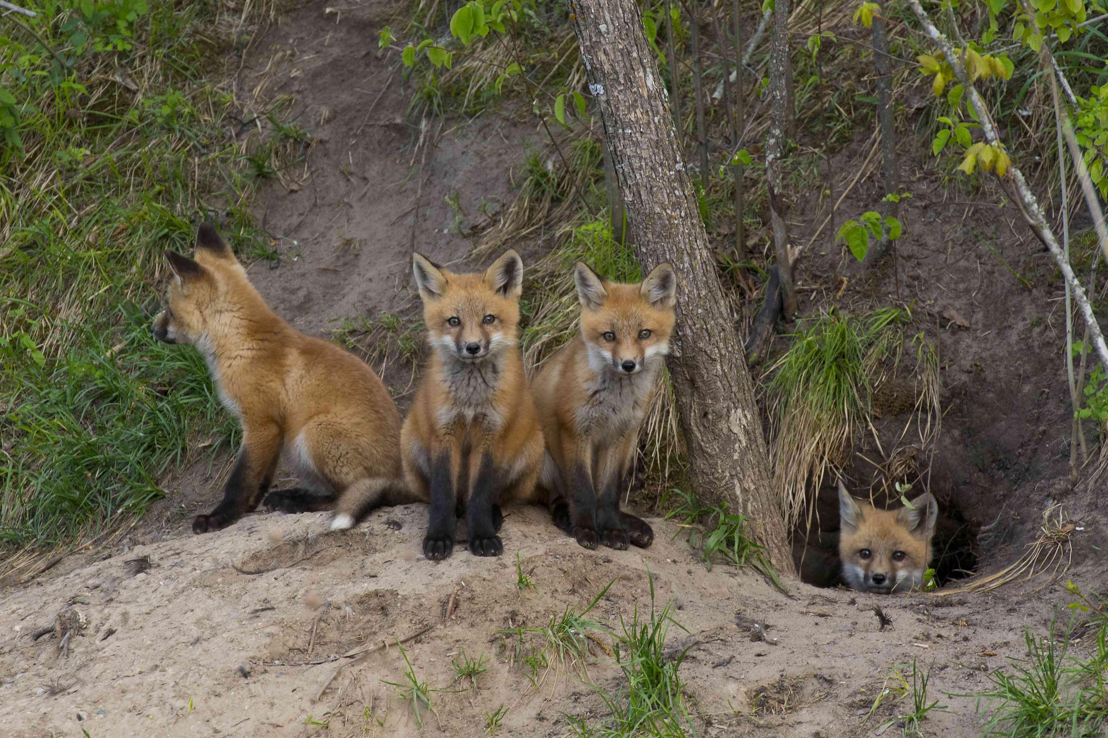 Quartet of baby foxes huddled around opening of burrow