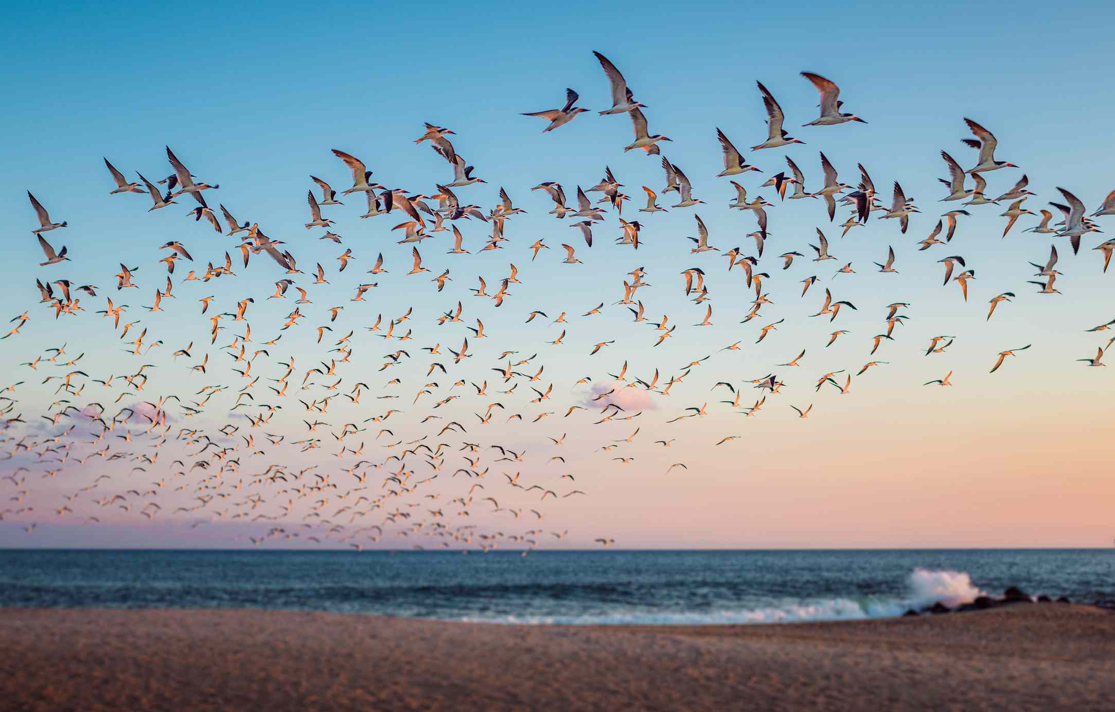 large flock of birds taking flight over the ocean's shore at Cape May with blue sky fading pink