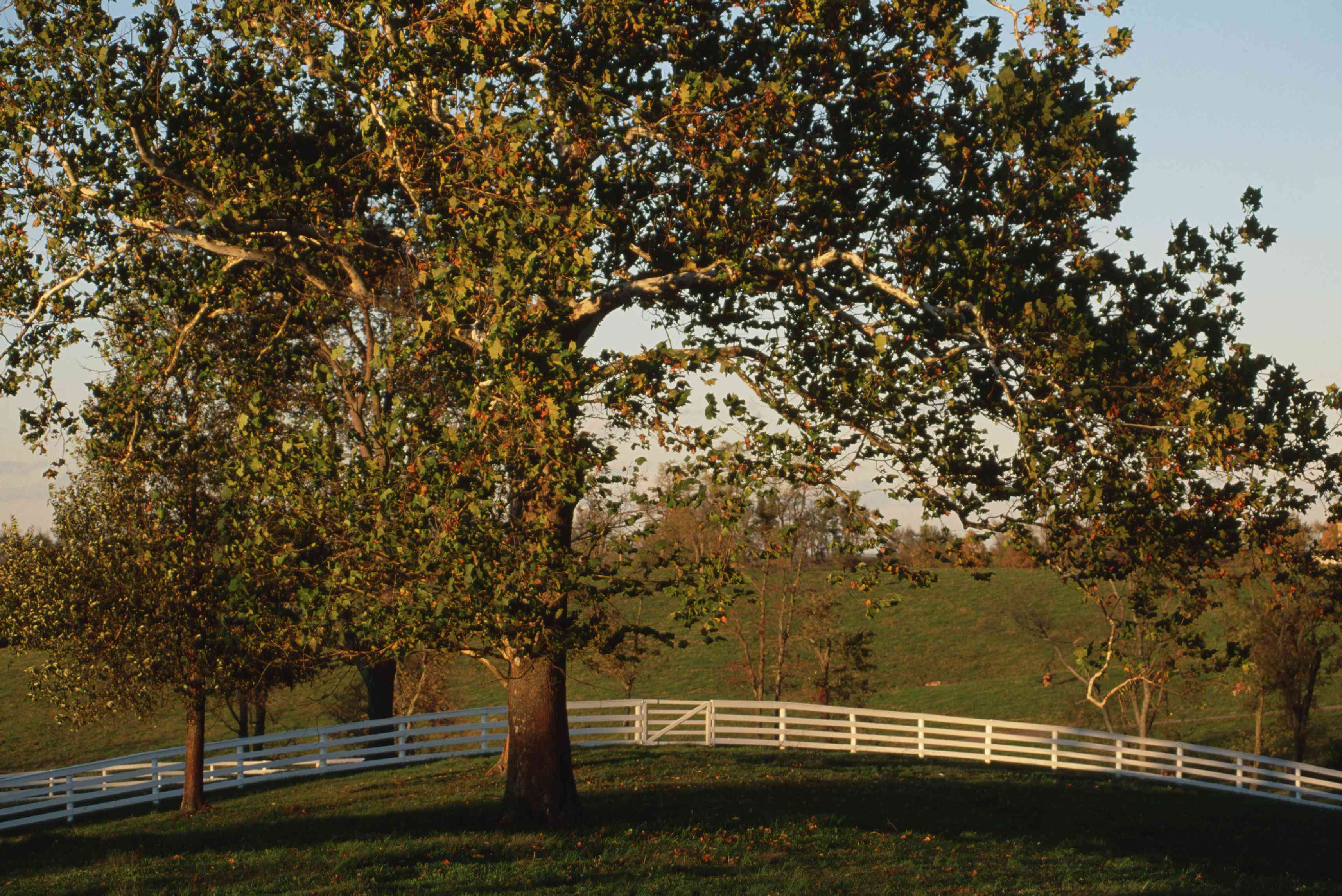 sycamore tree on a large green field with a white picket fence behind the tree