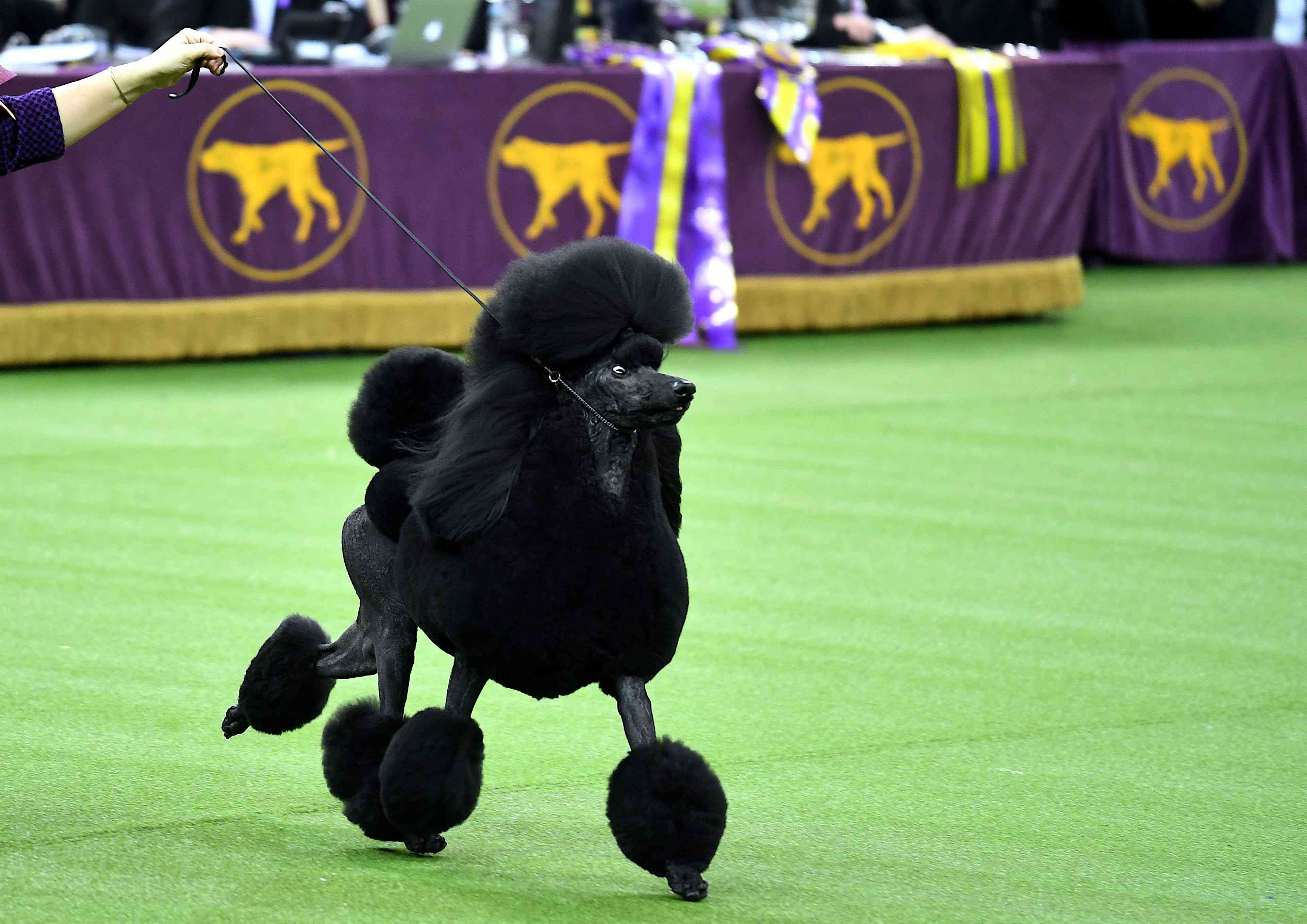 Westminster Kennel Club Show Crowns Siba The Standard
