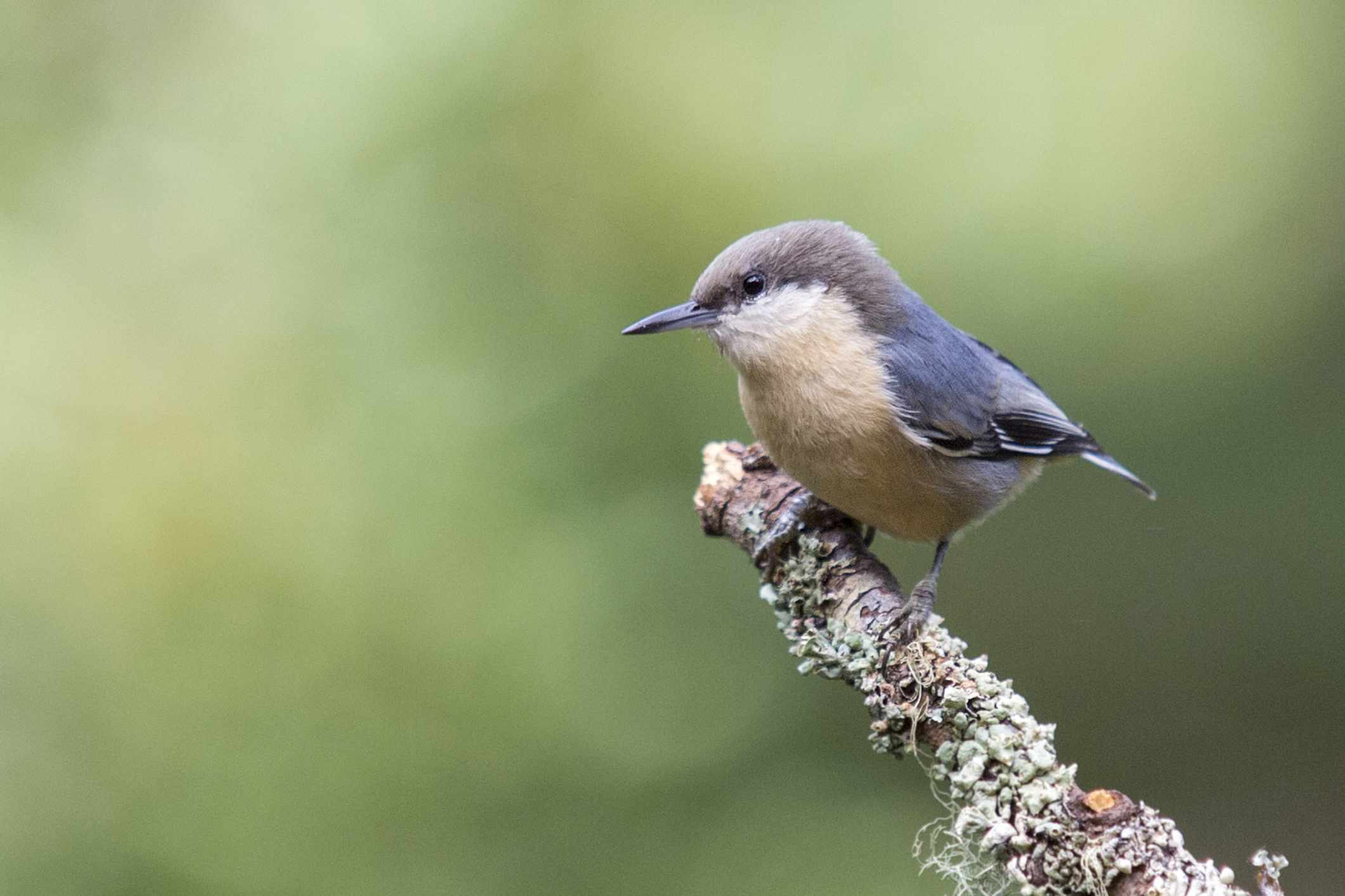 brown and white pygmy nuthatch on branch with green background