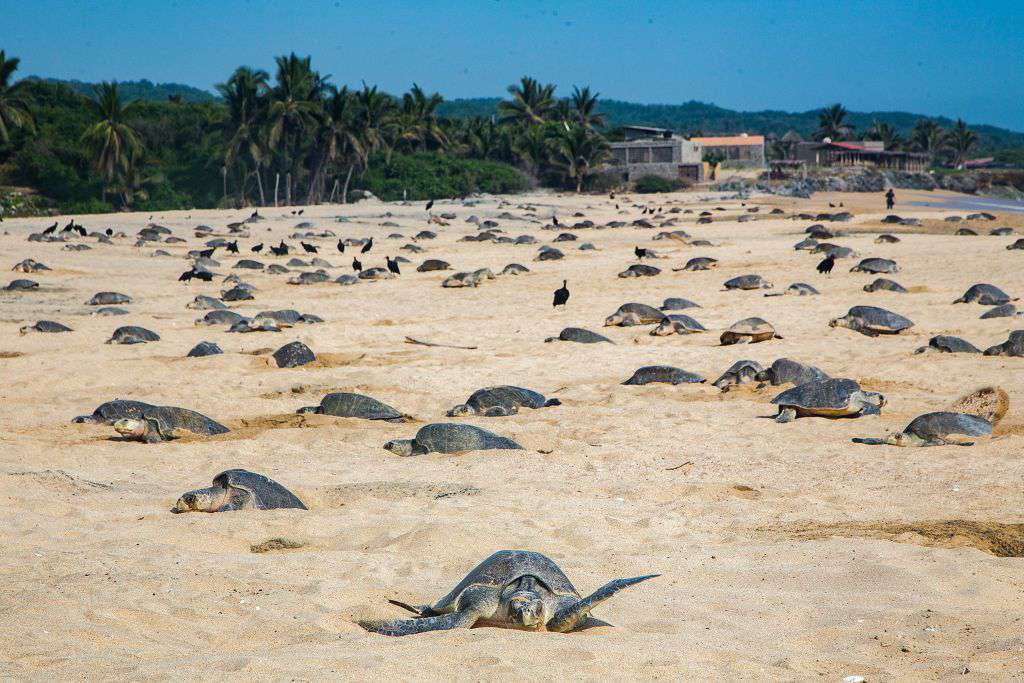 Olive Ridley sea turtles make nests to lay their eggs at Ixtapilla Beach, Michoacan State, Mexico, on July 20, 2018.
